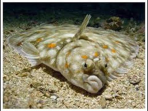 Flounder Fun Facts