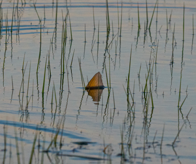 Tailing Redfish On the Fly
