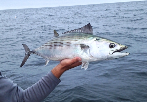 Bonito Fishing High Speed and Great Action…….with Captain Lee Parsons