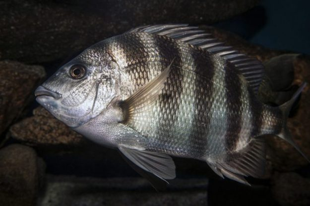 Know What's On the Line: Sheepshead