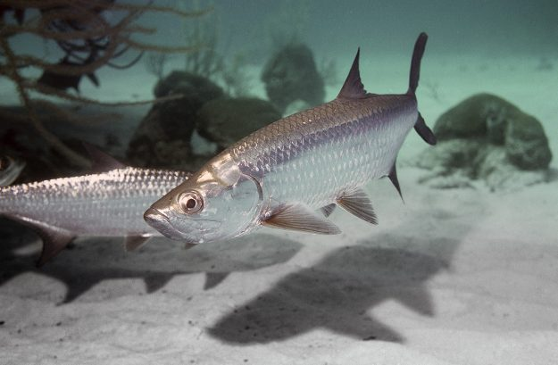What's On the Line: Atlantic Tarpon, the 'Silver King'